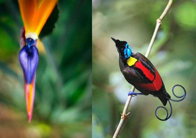 Bird-of-Paradise-Bird-Flower